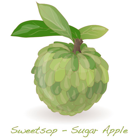 Sugar Apple (custard apple, Annona, sweetsop) vector on white background