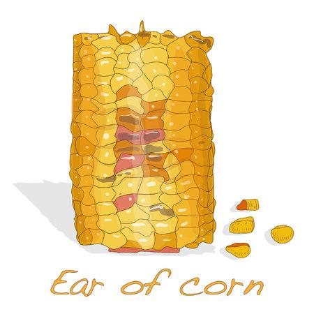 sweetcorn: Corn on the cob kernels isolated