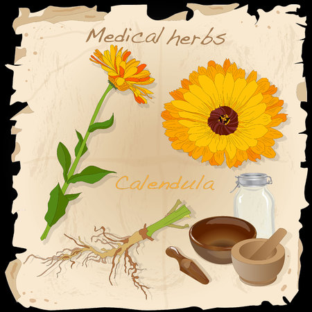 calendula: Medical herbs collection. Calendula vector illustration isolated.