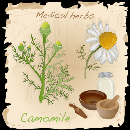 camomiles macro: Medical herbs collection. Camomile illustration vector isolated. Illustration