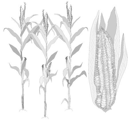 ilustración vectorial de maíz aislado Ilustración de vector