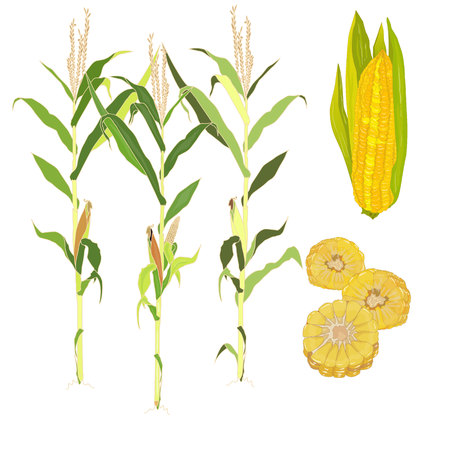sweetcorn: Corn vector illustration  isolated