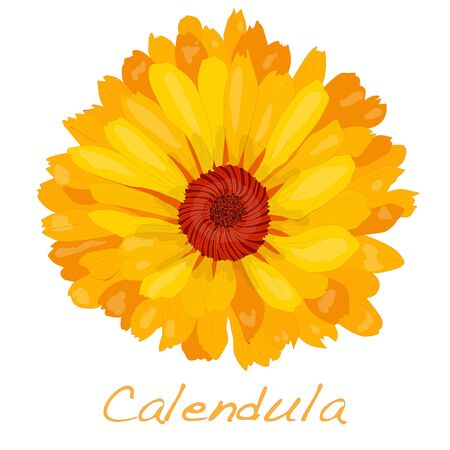 Calendula vector illustration isolated