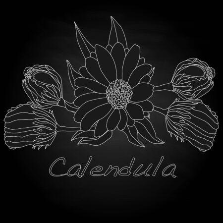 officinalis: Calendula vector illustration isolated