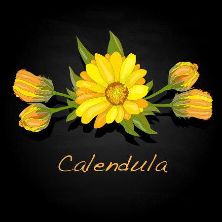 pot marigold: Calendula vector illustration isolated