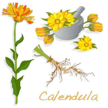 calendula: Calendula vector illustration isolated