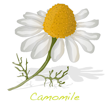 Camomile illustration vector isolated Illustration