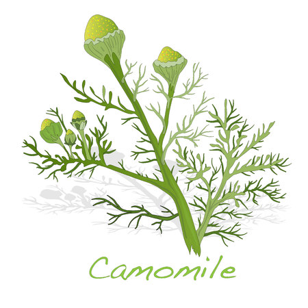 camomiles macro: Camomile illustration vector isolated Illustration