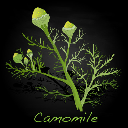 camomiles macro: Camomile illustration vector isolated. Illustration