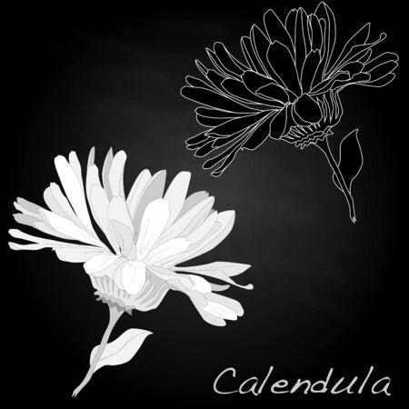 Calendula vector illustration isolated