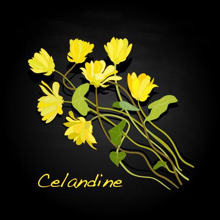 medical herbs: Medical Herbs. Celandine vector illustration.