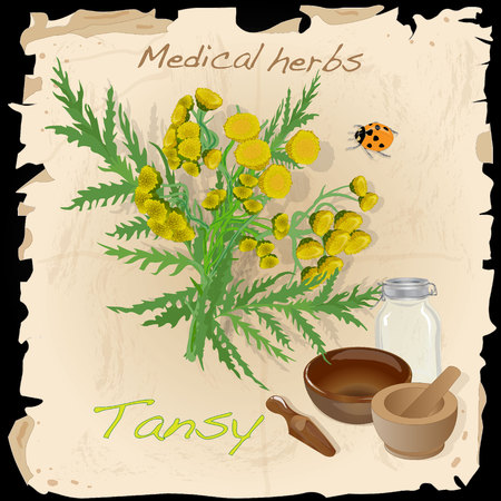 tansy herb vector illustration isolated