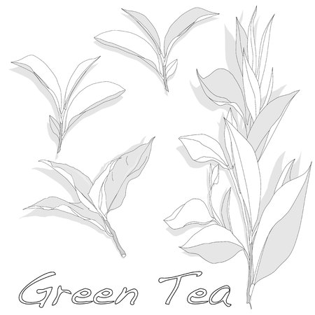 tea plantation: green tea leaf  vector illustration isolated on white background