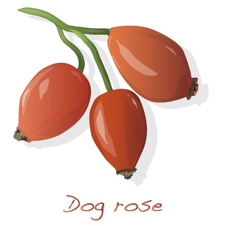 Rose hip vector isolated on a white background. Illustration