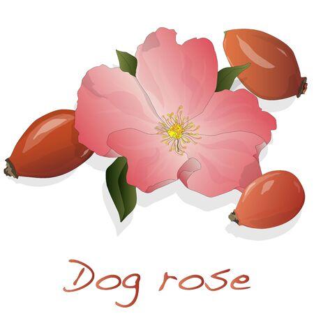 Rose vector de la cadera aislado en un fondo blanco.