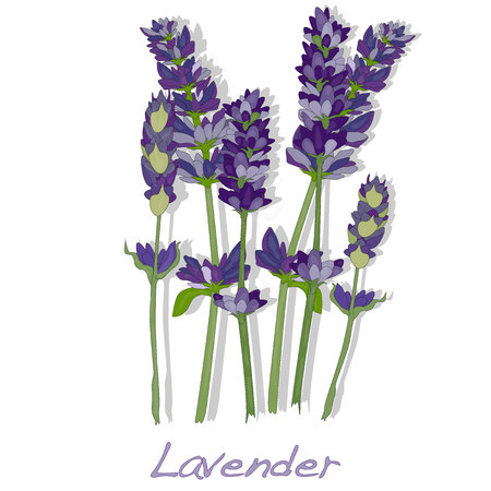plant delicate: Lavender flower vector isolated.