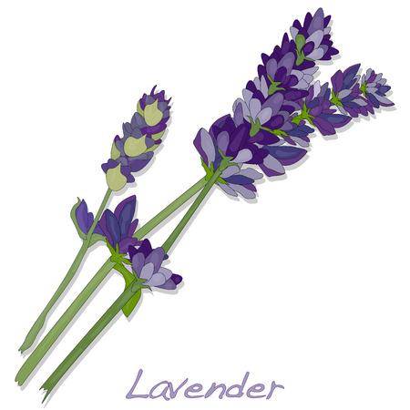 Lavender flower vector isolated.