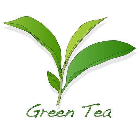 Green tea leaf vector artwork isolated Illustration