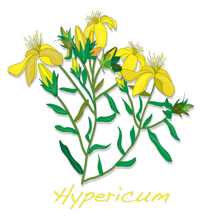 Hypericum flower isolated Vector Illustration