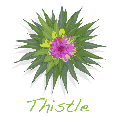 Milk Thistle plant. Scotch thistle. Vector isolated.