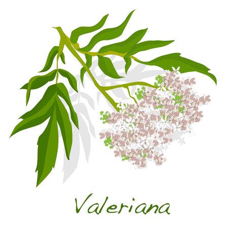 valeriana herb vector isolated.