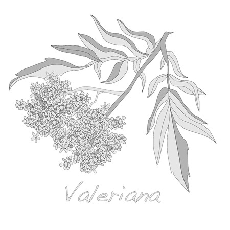 officinalis: valeriana herb vector isolated.