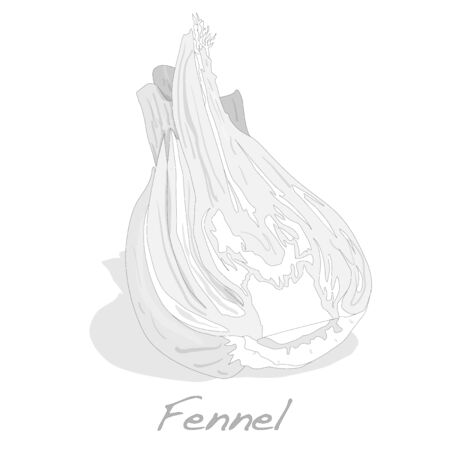 Fresh fennel bulb vector isolated on white background close up