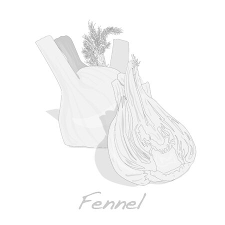 fennel: Fresh fennel bulb vector isolated on white background close up