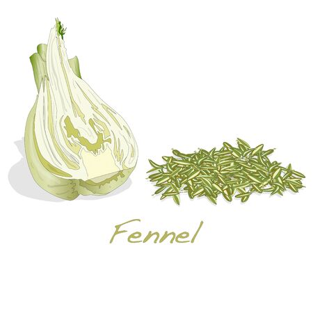 fennel: fennel root and seeds vector on white background