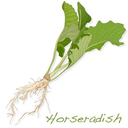 Isolated horseradish root vector on the white background Illustration