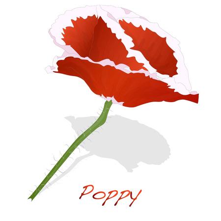 Red Poppy flower isolated on white background, vector illustration.
