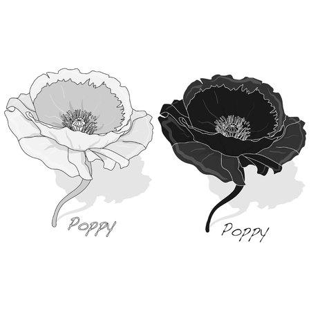 Poppy flower isolated on white background, vector illustration.