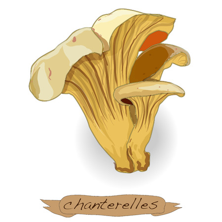 Yellow chanterelle isolated on white background Stock Photo