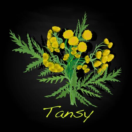 tansy herb illustration isolated
