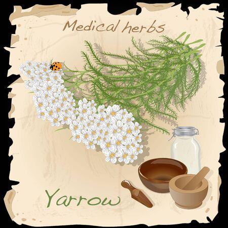 yarrow: Yarrow. Medical Herb collection.
