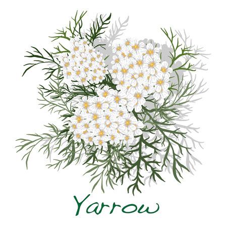 yarrow: Yarrow. Medical Herb.