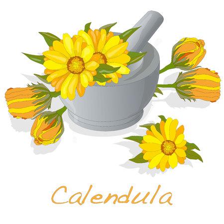 pot marigold: Calendula illustration isolated Stock Photo