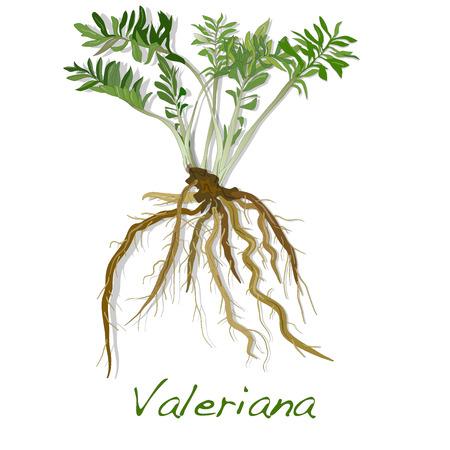 ziele Waleriana izolowane. Zdjęcie Seryjne