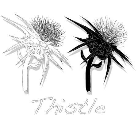 weeds: Milk Thistle plant. Scotch thistle. Vector isolated.