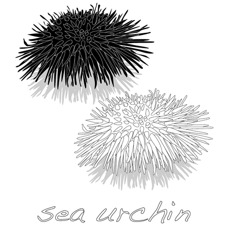 sea urchin vector isolated white background