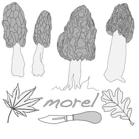 morel: morel, yellow morel, true morel and sponge morel - edible mushrooms (Morchella esculenta) vector illustration