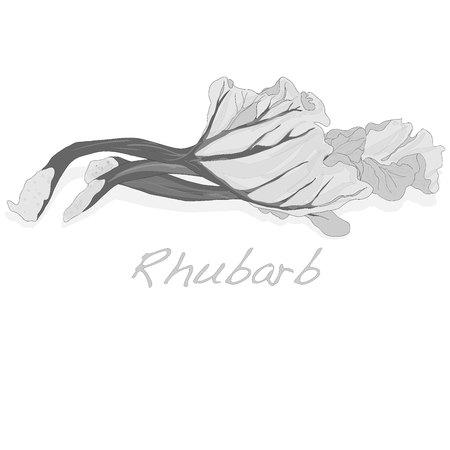 rhubarb: fresh rhubarb isolated on white vector Illustration