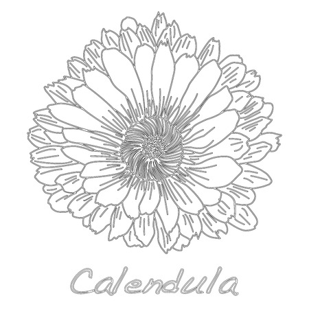 A Calendula. Medical herb illustration isolated on a white background. Illustration