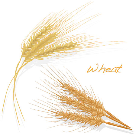 Wheat illustration set on white background isolated