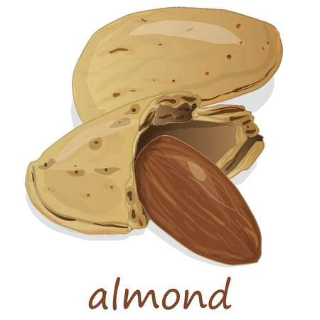Almond isolated. Nuts on white background. Illustration collection. Illustration
