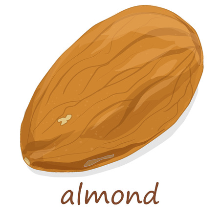 Almond nuts on white background, vector illustration.