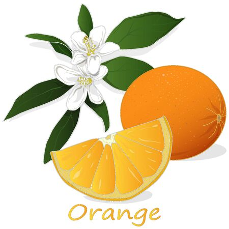Fresh orange isolated on white background illustration set.