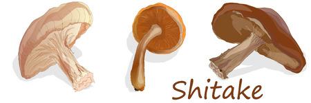 Shitake mushroom illustration isolated on white Illustration