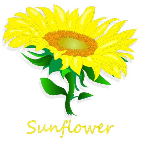 Sunflower isolated on white background illustration set Çizim