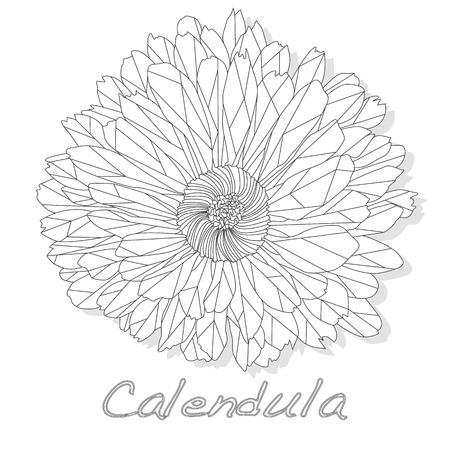 Calendula. Medical herb vector illustration isolated on white.Polygonal. Coloring. Ilustracja